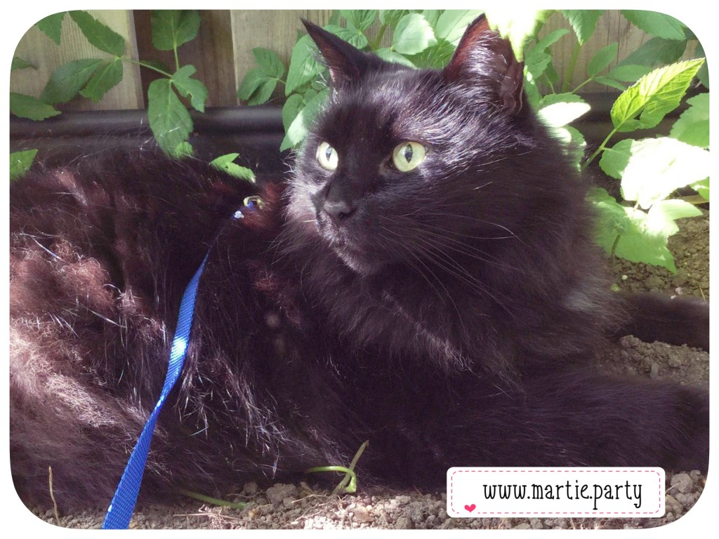 A black cat on a harness sitting in a garden.
