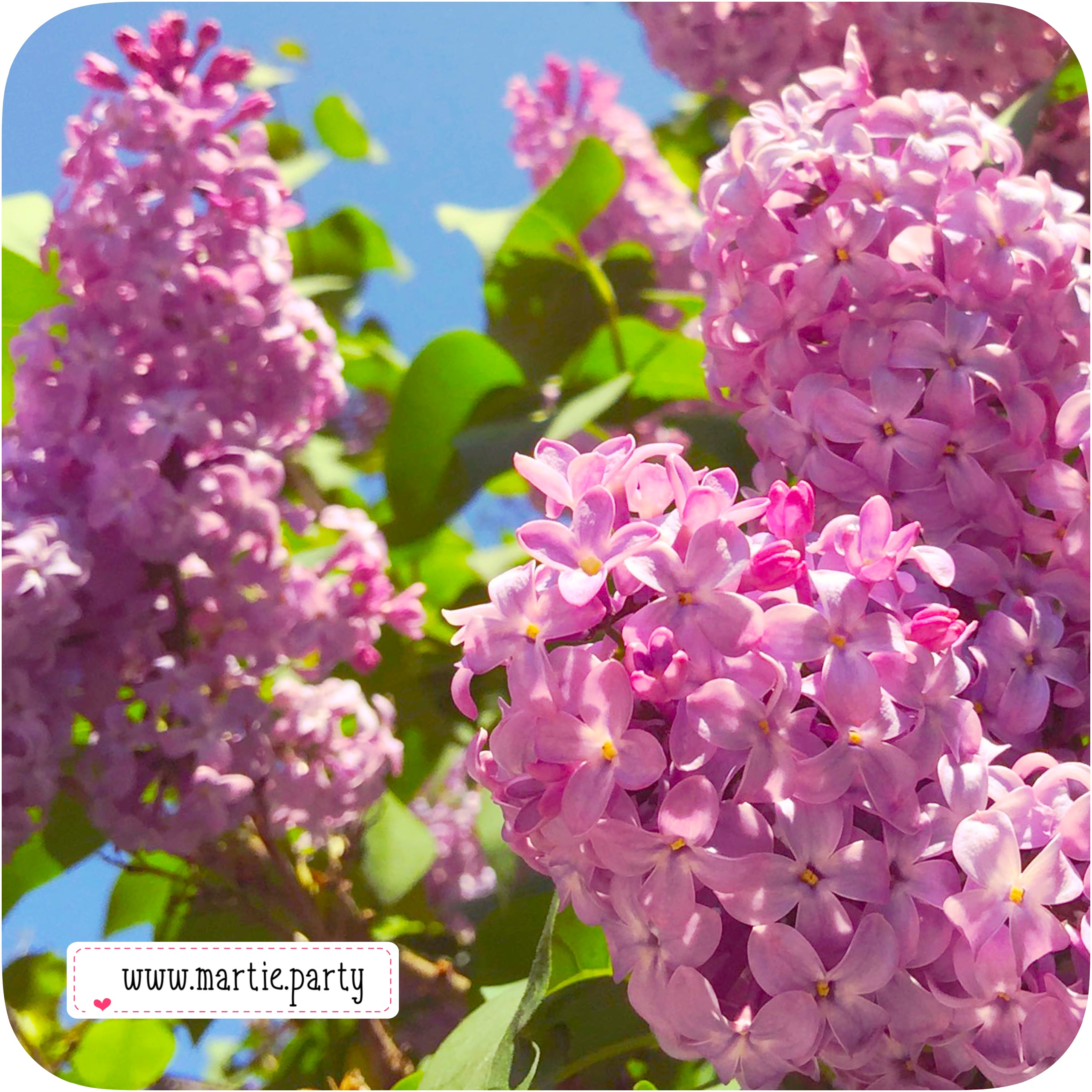 Lilac blossoms.