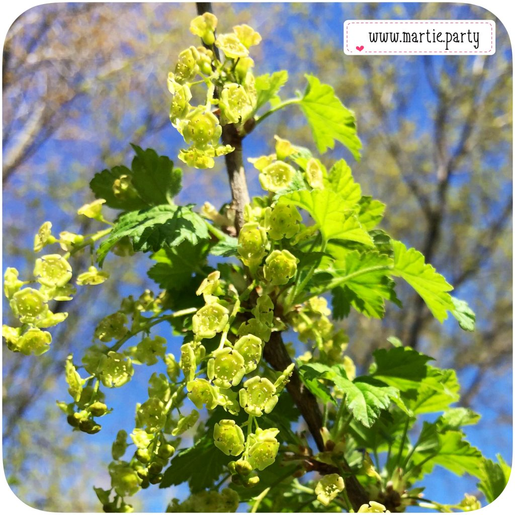 Red currant blossoms.